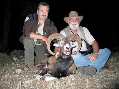 mouflon41